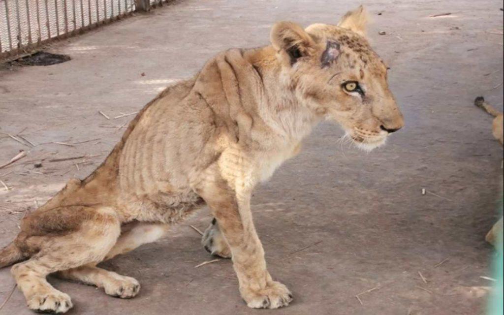 Animali, la corsa contro il tempo per salvare i leoni segregati in uno zoo