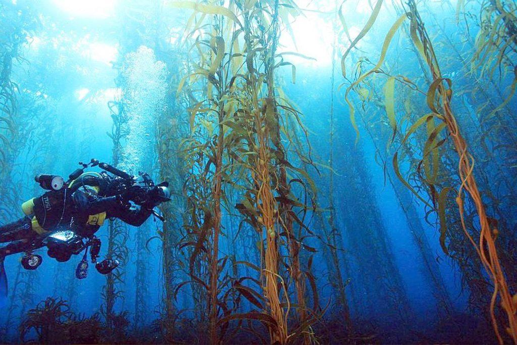 Australia, le foreste di kelp stanno scomparendo a causa del riscaldamento delle acque