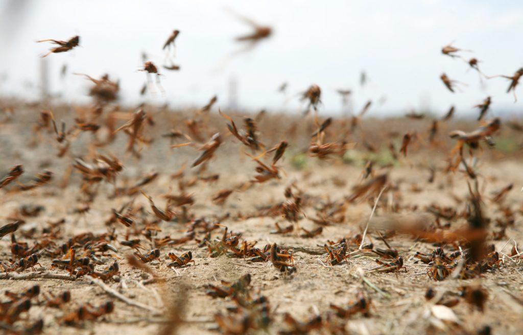 "Locuste, allarme FAO: ""Africa invasa da 200 miliardi di esemplari"""