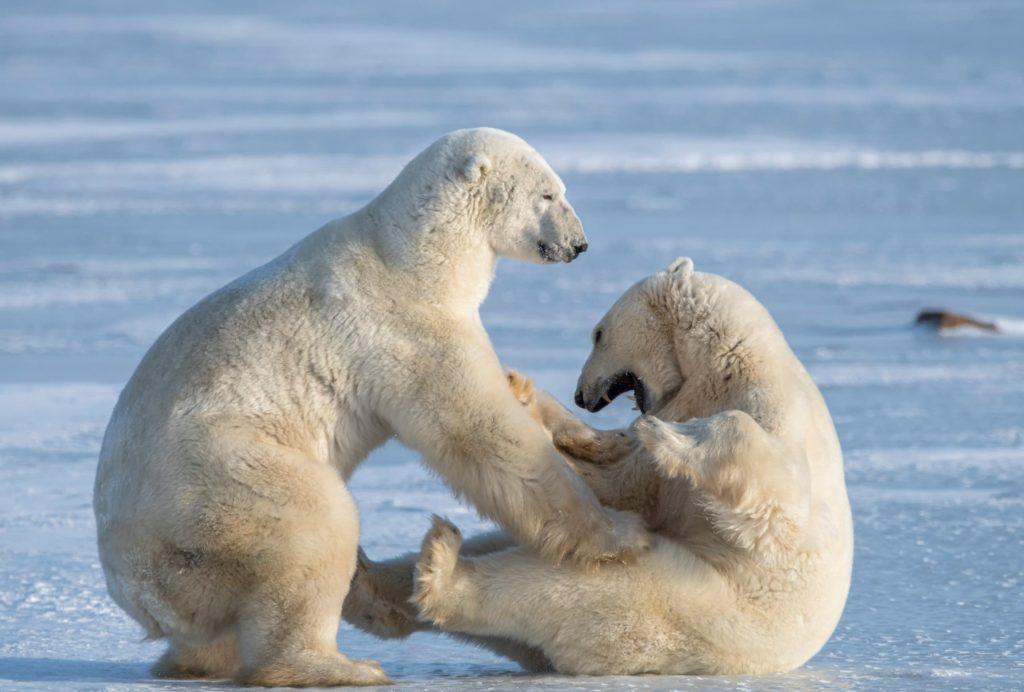 Clima, lo scioglimento dei ghiacci sta portando ad un aumento del cannibalismo tra gli orsi