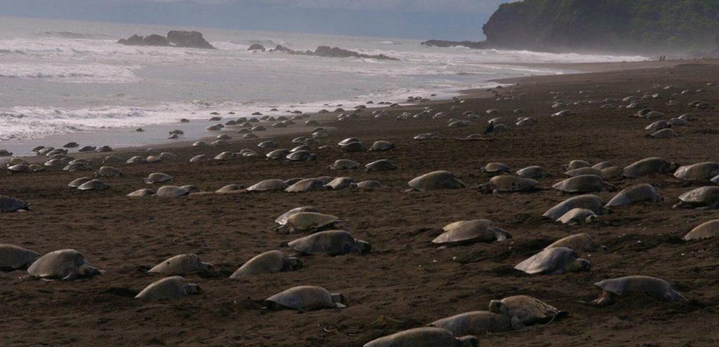 Coronavirus, in India migliaia di tartarughe tornano a nidificare sulle spiagge