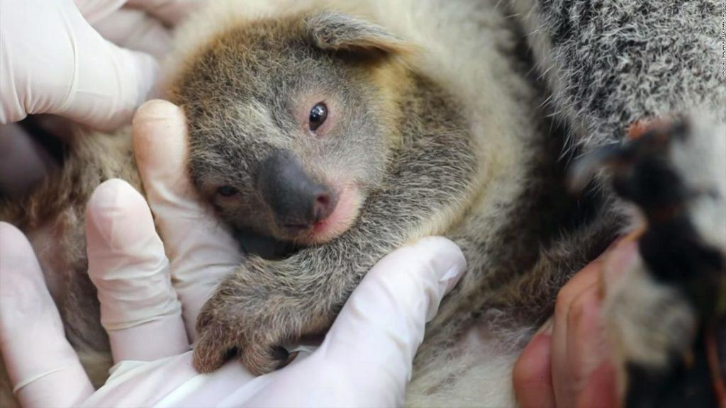Australia, nato il primo koala dopo la fine della stagione degli incendi