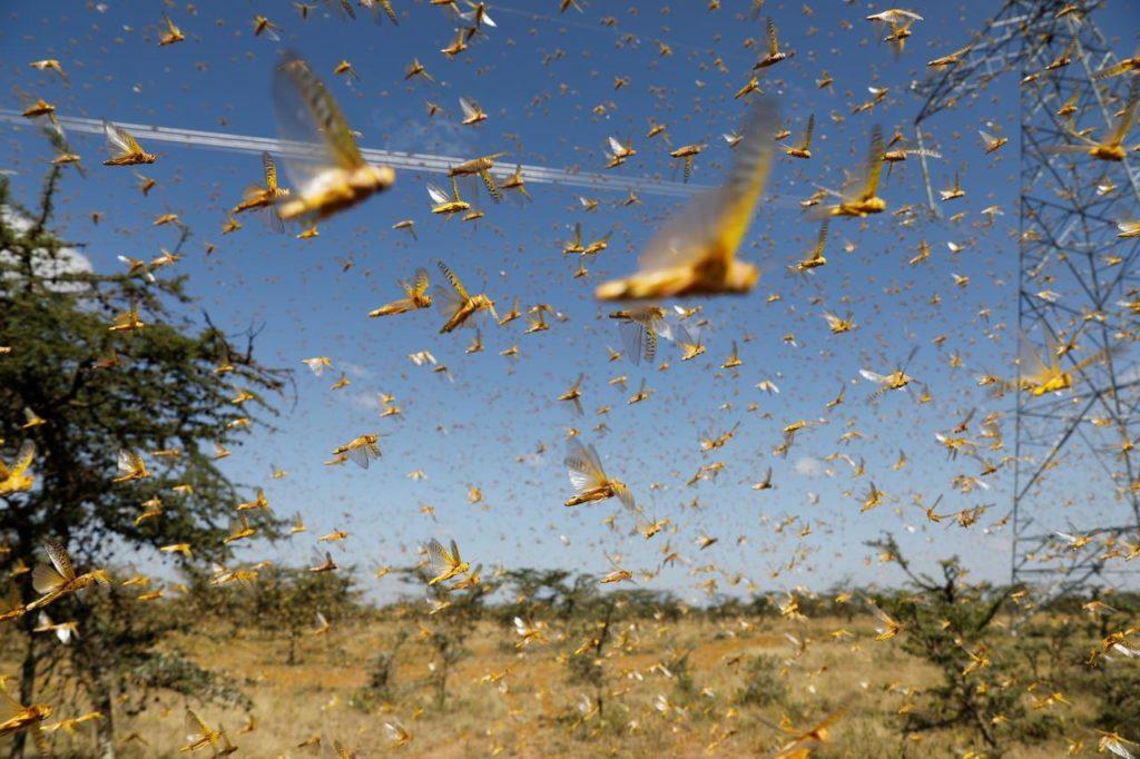 India, raccolti distrutti dalla peggior invasione di locuste degli ultimi 30 anni