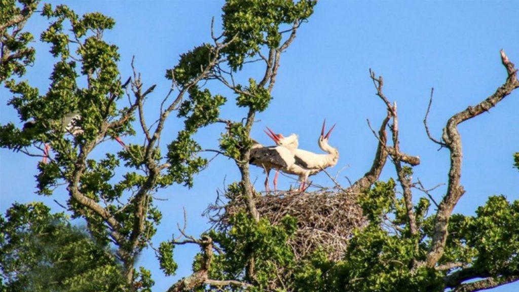 Regno Unito, nati dopo secoli i primi pulcini di cicogna bianca selvatica
