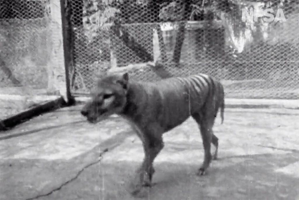 Animali, pubblicato un filmato per osservare per l'ultima volta la tigre della Tasmania