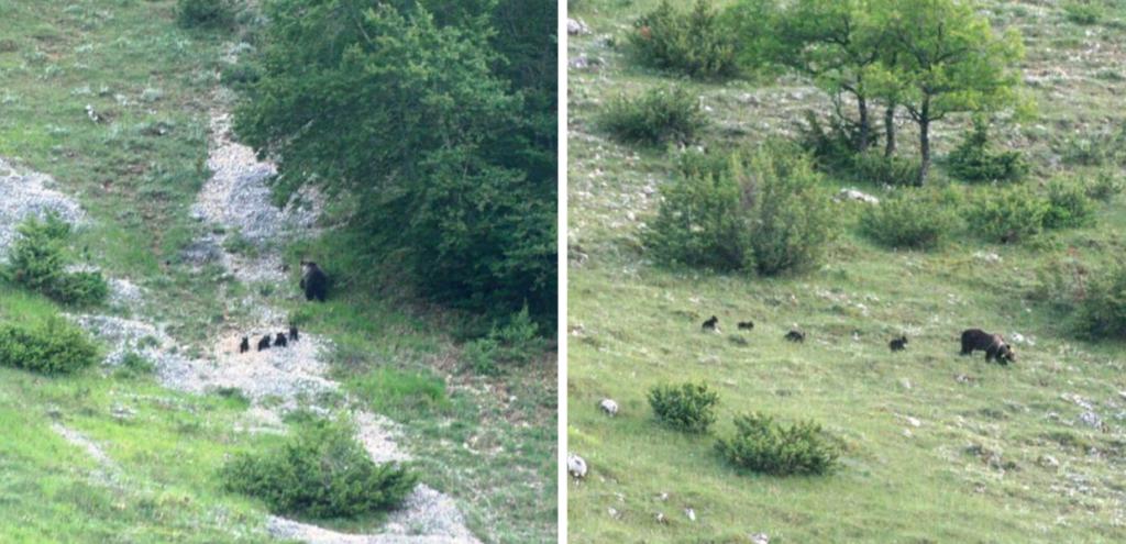 Abruzzo, avvistati per la prima volta un orso marsicano con i suoi cuccioli