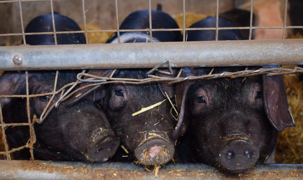 Arriva Pdl etichetta secondo metodo di allevamento e benessere animale