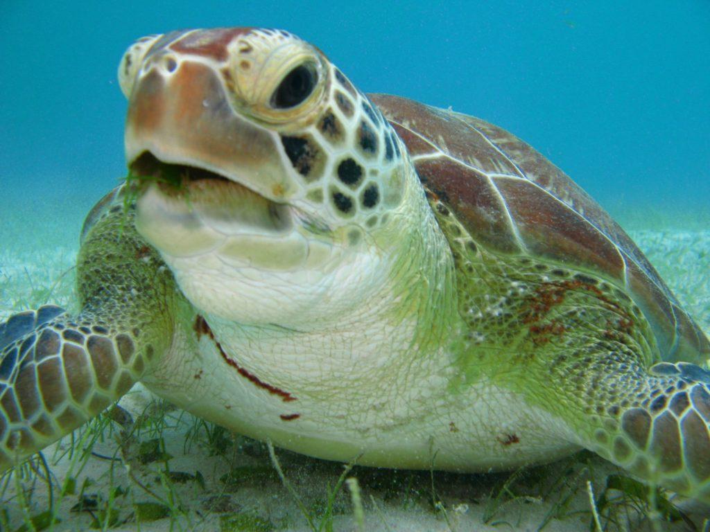 Brasile, quattro tartarughe marine avvistate nella baia dell'aeroporto di Rio