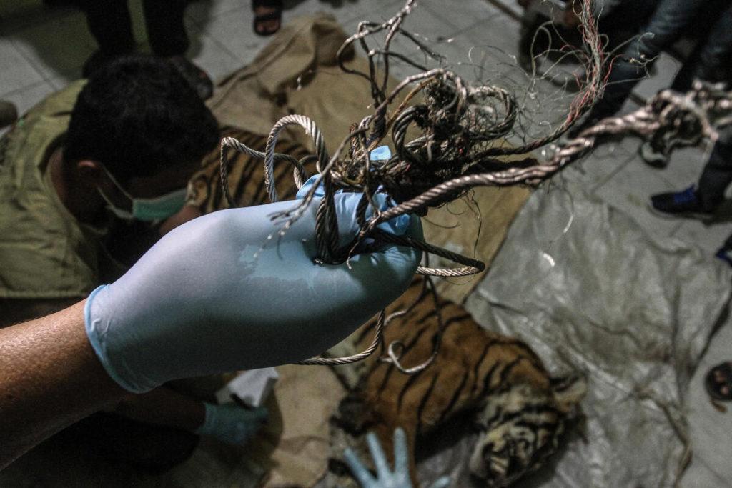 Tigre di Sumatra morta intrappolata in una piantagione di cellulosa. Le immagini di Greenpeace