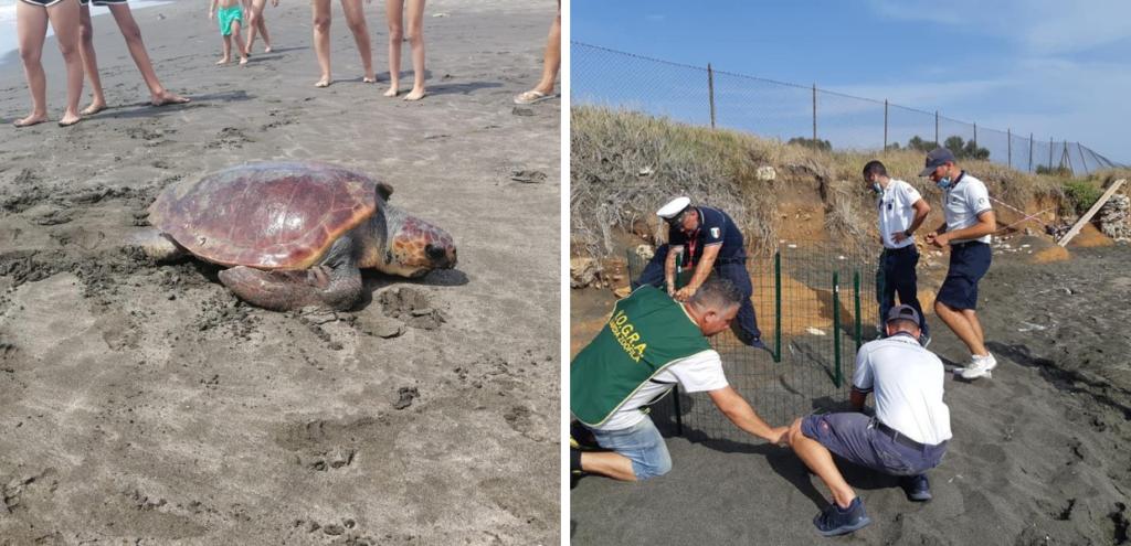 Tartaruga caretta caretta deposita le uova dopo un viaggio da Marina di Cerveteri a Palo VIDEO
