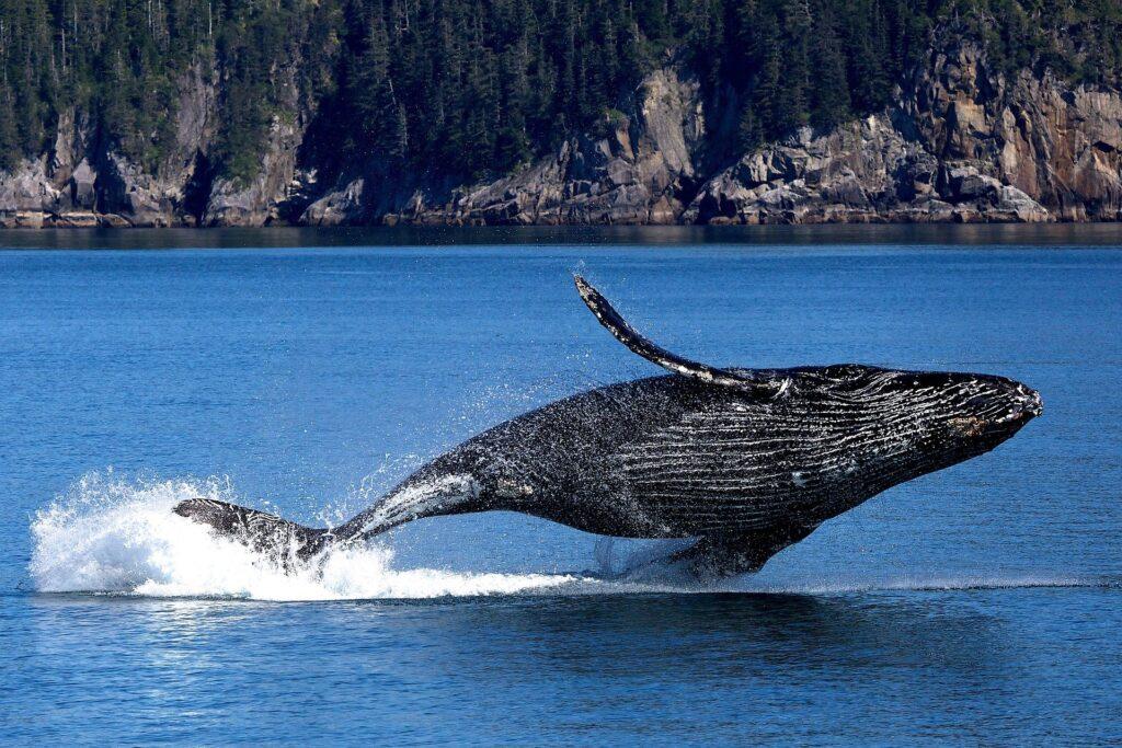 Animali, l'estinzione delle balene è sempre più vicina