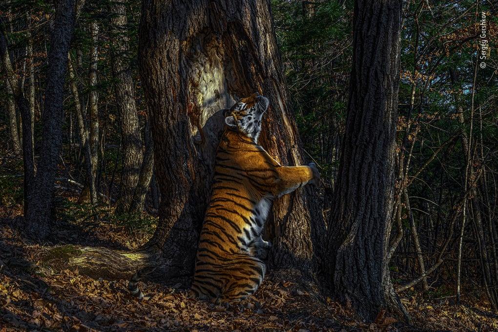 Wildlife Photographer of the Year 2020, vince il concorso la foto di una tigre siberiana che abbraccia un albero