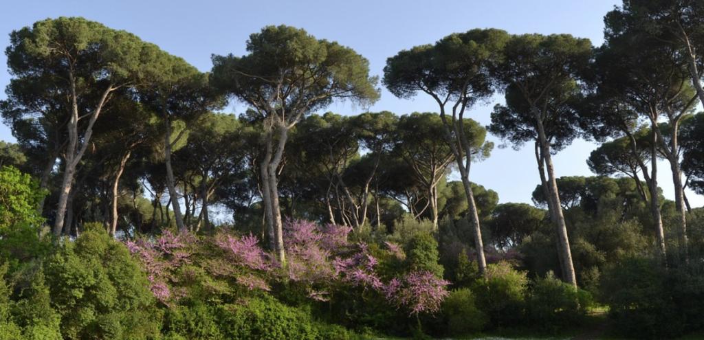 Roma, salviamo i pini della Capitale! L'80% colpiti dal batterio cocciniglia tartaruga