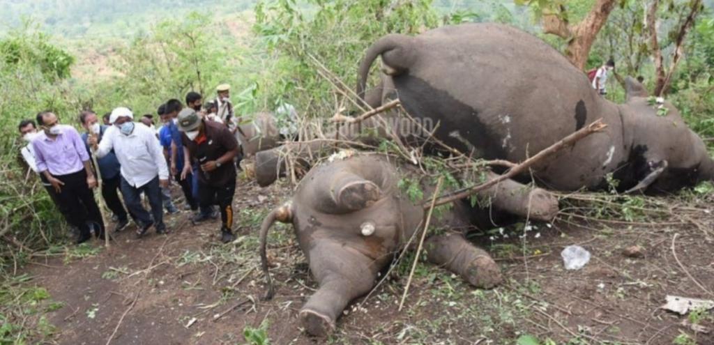 """India, un fulmine uccide 18 elefanti ma un ambientalista solleva dubbi: """"Potrebbe essere avvelenamento"""""""