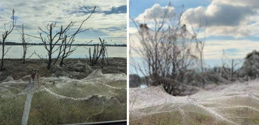 Australia, invasione di ragni. Distese di ragnatele ricoprono strade e campi