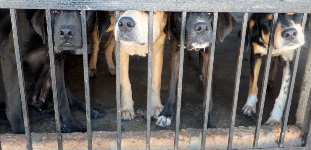Animali, sequestrato canile abusivo: cani lasciati in catene tra i rifiuti