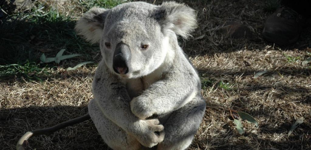 """Koala, l'allarme dall'Australia: """"Popolazione calata del 30% in tre anni"""""""
