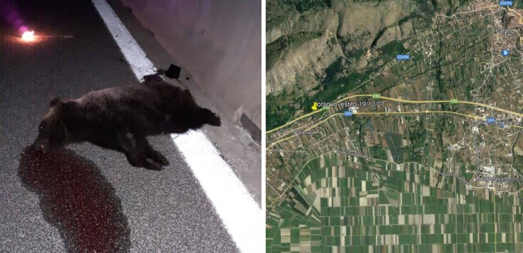 """Abruzzo, orso investito e ucciso sulla A25, l'ira del Wwf: """"Colpa dell'inerzia di enti e istituzioni"""""""