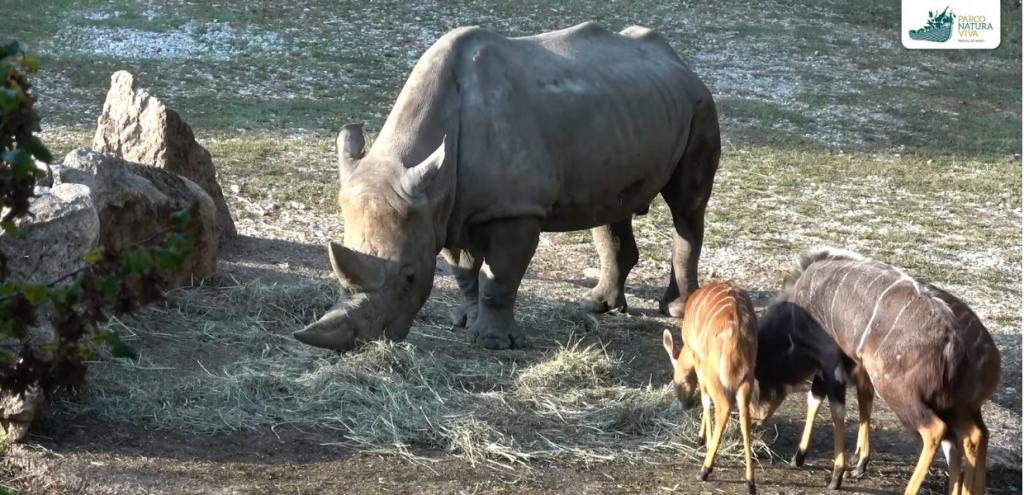Addio a Toby, il rinoceronte più anziano al mondo in uno zoo. A Verona recuperate corna in aeroporto